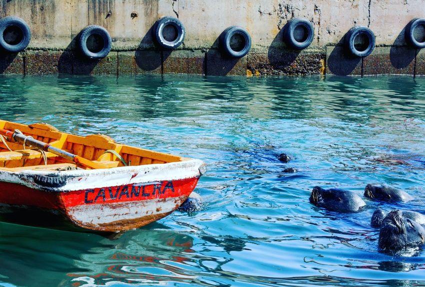 Comensales acuáticos Seawolves Sealions Lobosmarinos Boat Bote Cavancha Iquique Chile Tarapaca Sea Mar Oo