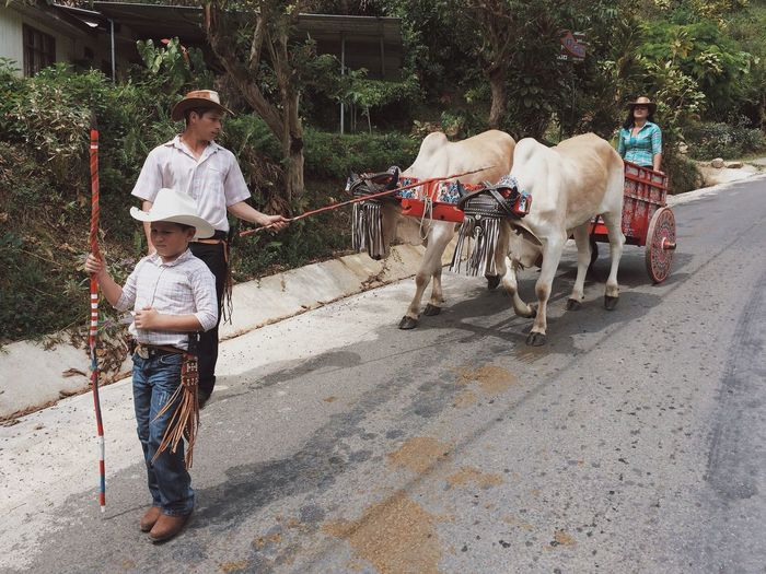 Parade Oxen Costa Rica IPhoneography VSCO Vscocam Ox Cart