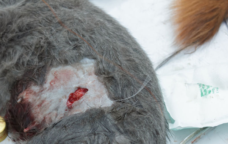Close-up of wounded monkey on snow