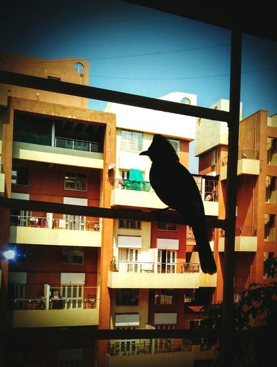 Bulbuls Bird Photography Pune, India Rose County