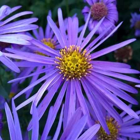 Michaelmas Daisy at Christchurch Mansion. Iphonephotography Fall Beauty 🌷 Flowers 🌹 England🇬🇧 Ipswich Suffolk