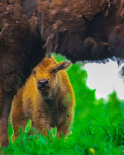 Filming one of my pet adventures Webseries i was at awe seeing this little furry bison looking at me. Animal Photography Bison, Buffalo, Blackbirds, Wyoming, Wild, Animal, Horns, Fur, Raw, Buffalo Wildlife & Nature Love