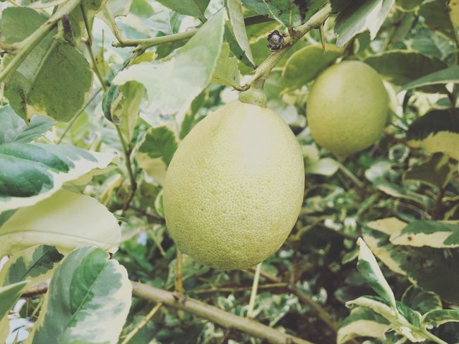 Fruit Food And Drink Leaf Citrus Fruit Healthy Eating Lemon Growth Freshness Food Lemon Tree No People Tree Day Close-up Plant Agriculture Outdoors Nature