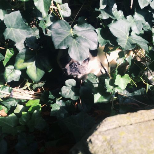 Wallis is playing indiana jones in the bushes. Come outta there u silly. Pug First Eyeem Photo