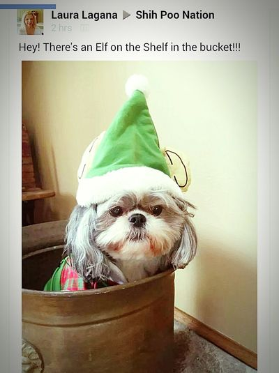 Shih Tzu Love Elf On The Shelf Dog Costumes My Dogs Are Cooler Than Your Kids Dog❤