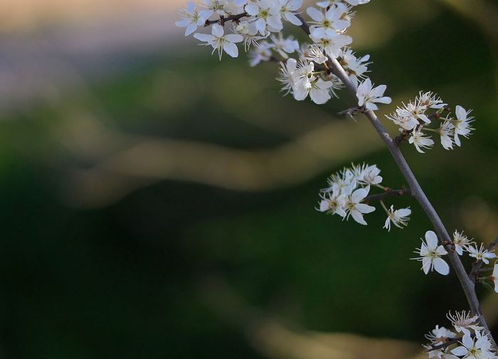 Flowering Plant Flower Freshness Fragility Vulnerability  Plant Beauty In Nature Growth Petal Flower Head Close-up White Color Inflorescence Nature Focus On Foreground Botany Blossom Tree Springtime Bunch Of Flowers Weißdorn (Crataegus) Hawthorn Blossom