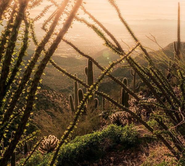 High angle view ocotillo cactus plants growing on field with saguaro cactus