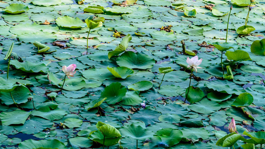 High angle view of lotus leaves floating on lake