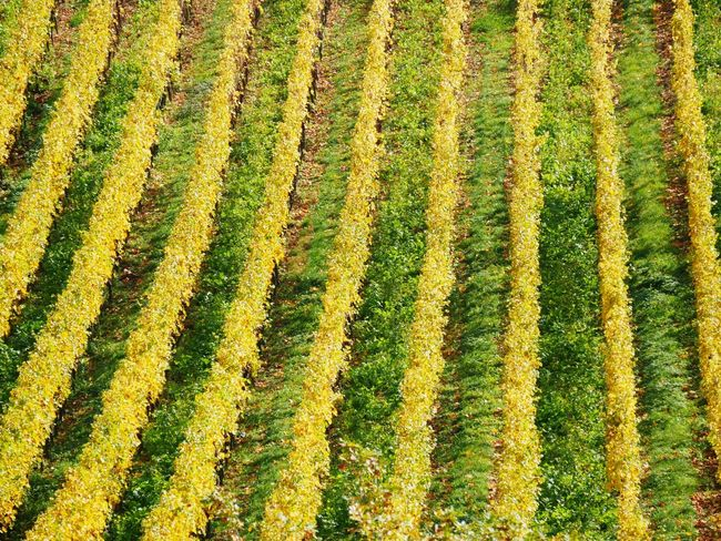 Agriculture Field Nature Farm Beauty In Nature Rural Scene Growth Landscape Full Frame High Angle View Cultivated Land Backgrounds Crop  Pattern Tranquil Scene Scenics Tranquility No People Day Outdoors Yellow Wine Country Winefields Rüdesheim Am Rhein