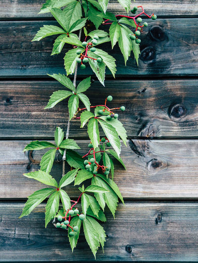 Plant on wooden fence