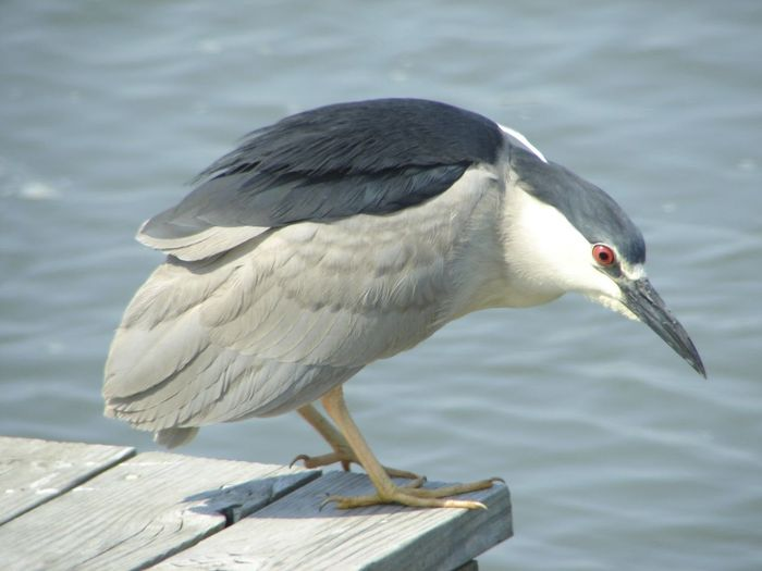 Animals In The Wild Beak Bird Birds With Red Eyes Day Nature Photography Night Heron Side View Water Wildlife Wildlife Photography