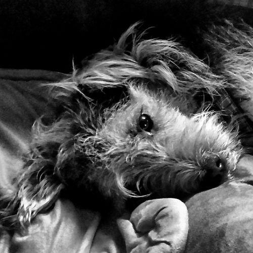 Service Animals bester Wachhund..er liebt 🏃🎁💻📱📺🛀🚿⚽🎾🏊🍕🍔🍗🍖🍩🍞🍪🐶🐭🐰🐹🐸🐱🐄🐟🐢🐛🐎🐓🐐🐕🐖🐁🐂🐈🐩🐾🌻🌞🌊🚗 und er mag nicht 🐍☔☁🍏🍊🍋🍒🍇🍉🍐🍅🍆🍠🍍😭😷😡🔥 Taking Photos Blackandwhite Photography Blackandwhite Iggermany Igers Lovemydog Bestdogever Bestfriend Black&white