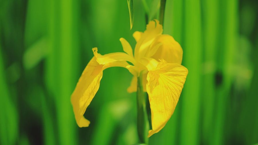 野草 Wildflower 菖蒲 Macro Photography Iris Flower Head Flower Multi Colored Iris - Plant Yellow Leaf Springtime Petal Blossom Vibrant Color In Bloom Botany