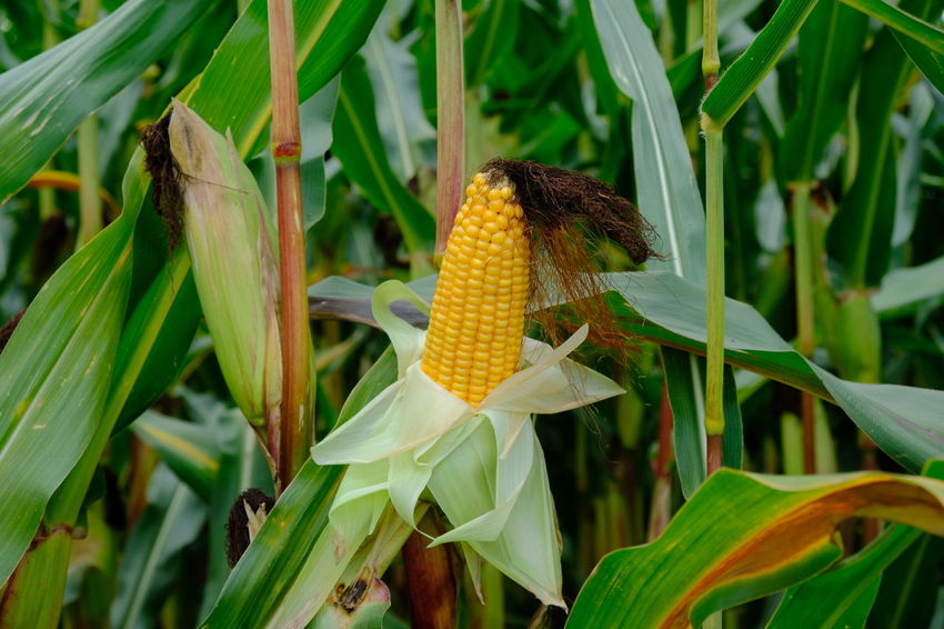 Agriculture Corncobs Field Fresh Produce Freshness Mais Agricultural Field Agricultural Land Agriculture Photography Blooming Corn Corn Cob Corncob Cornfield Freshness Genetic Growth Healthy Eating Leaf Maisfeld Maize Maize Field Mealie Nature Plant