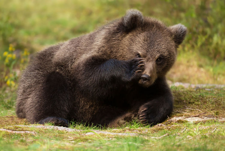 Bear relaxing on grass