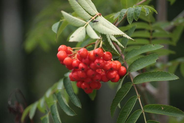 Close-up of rowan berries growing on tree