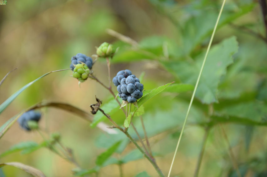 Blackberry with fruits (Rubus) EyeEmNewHere Rubus Beauty In Nature Berry Fruit Close-up Day Food Food And Drink Freshness Fruit Green Color Growth Healthy Eating Leaf Nature No People Outdoors Plant Ripe Selective Focus Wellbeing