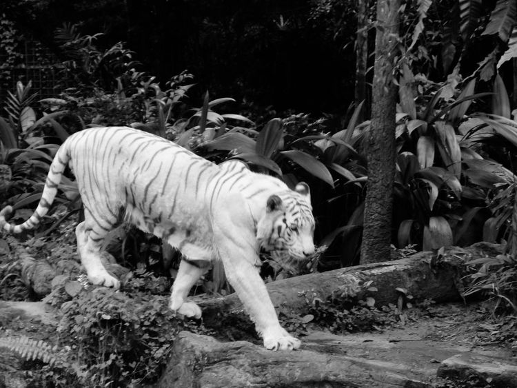 Great white.. Animal Themes Mammal White Tiger Tiger No People Animal Wildlife Outdoors Full Length Nature Day Singapore Zoological Garden The Great Outdoors - 2017 EyeEm Awards Travelphotography Nature Photography Beauty In Nature Live For The Story Eyeem Philippines Earth Nature