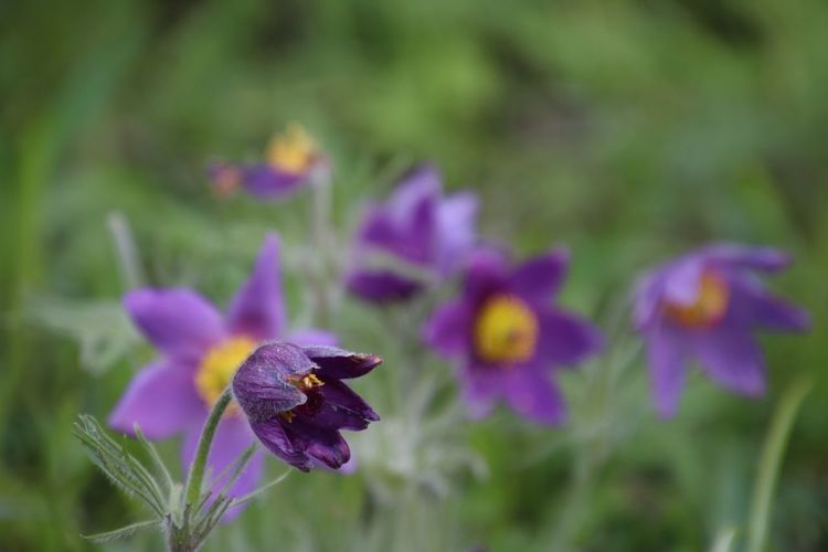 Close-up of purple iris flower growing on field