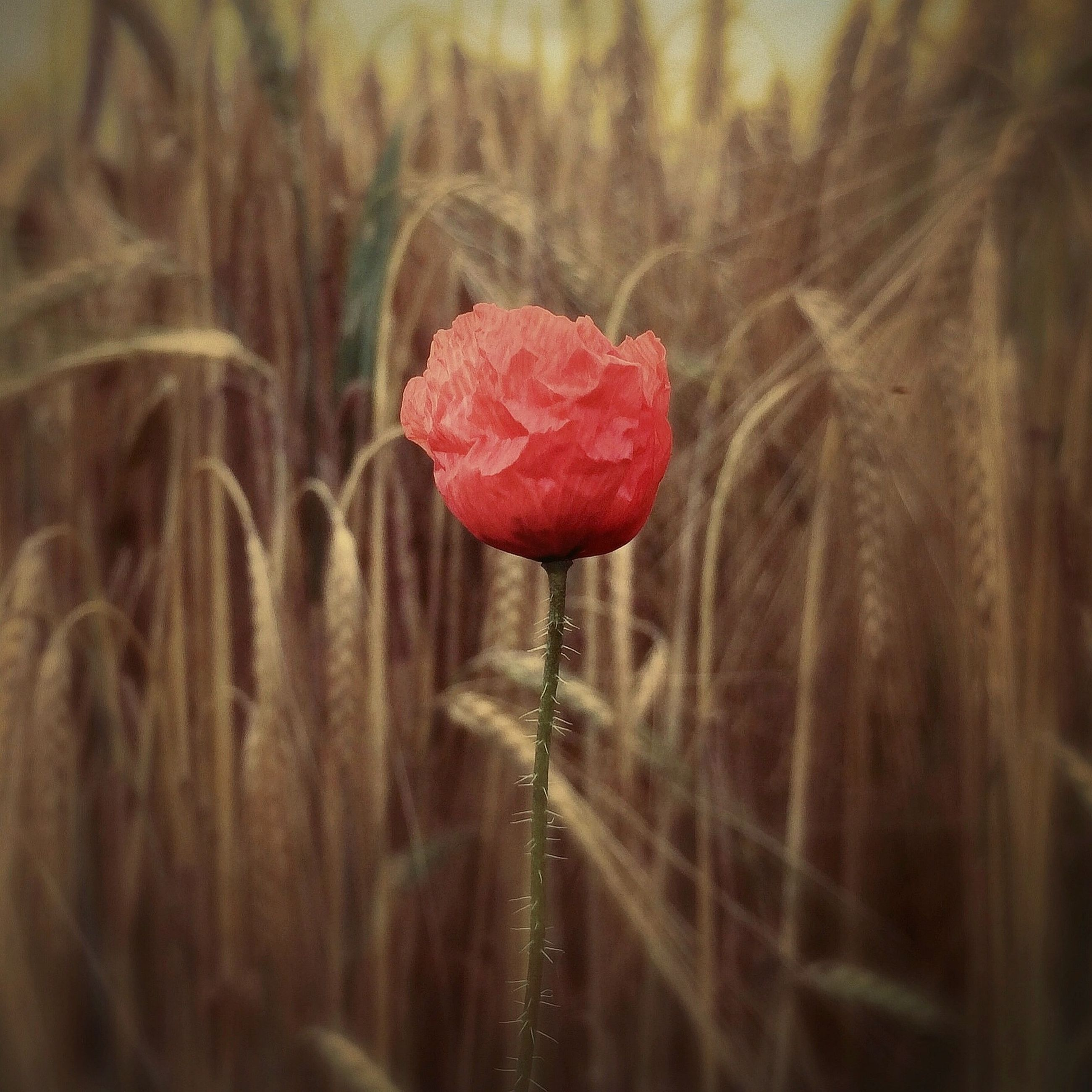 red, flower, focus on foreground, fragility, growth, freshness, close-up, plant, nature, beauty in nature, stem, selective focus, flower head, single flower, petal, field, outdoors, day, season, poppy