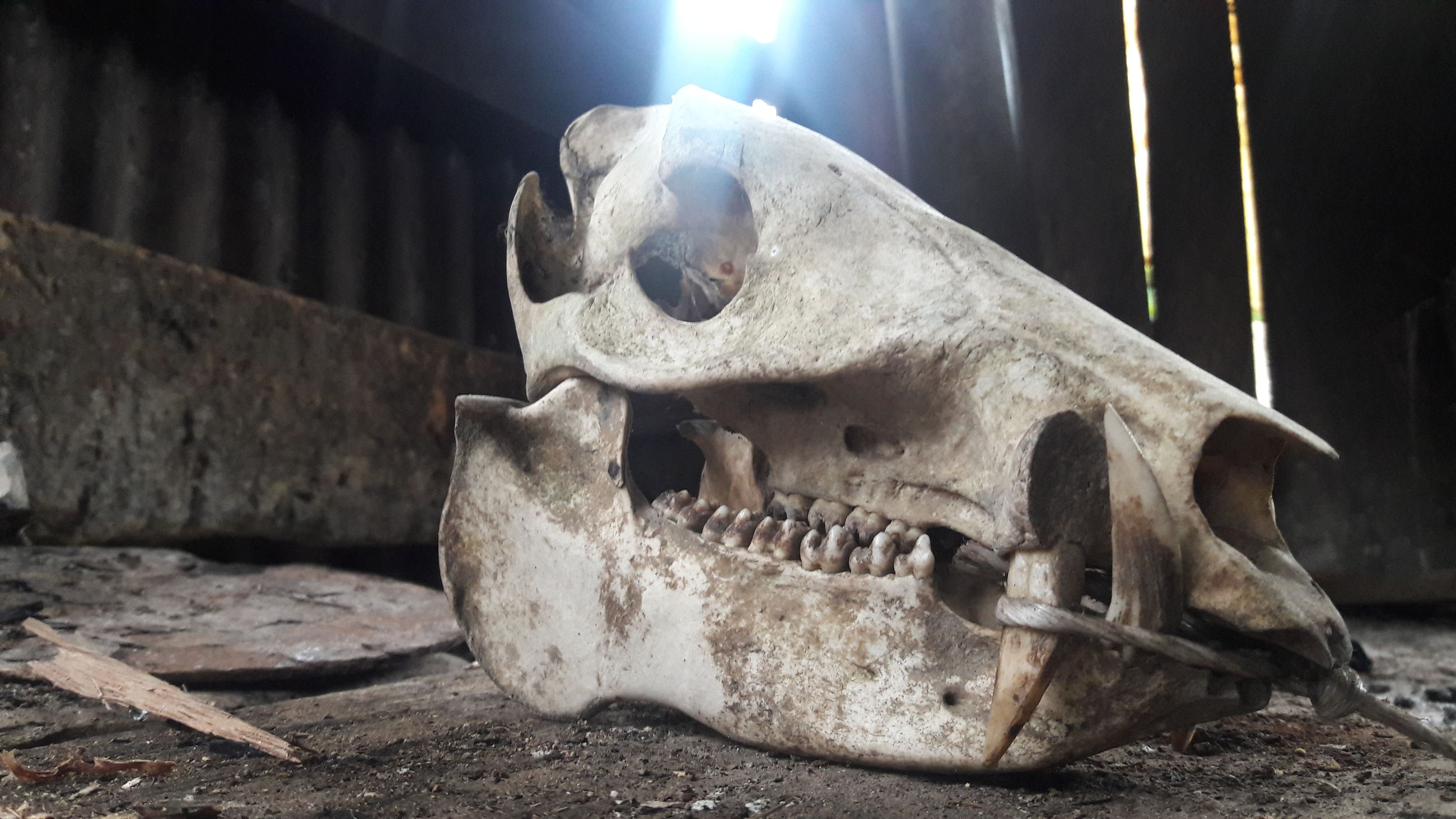 no people, close-up, animal skull, extinct, indoors, day