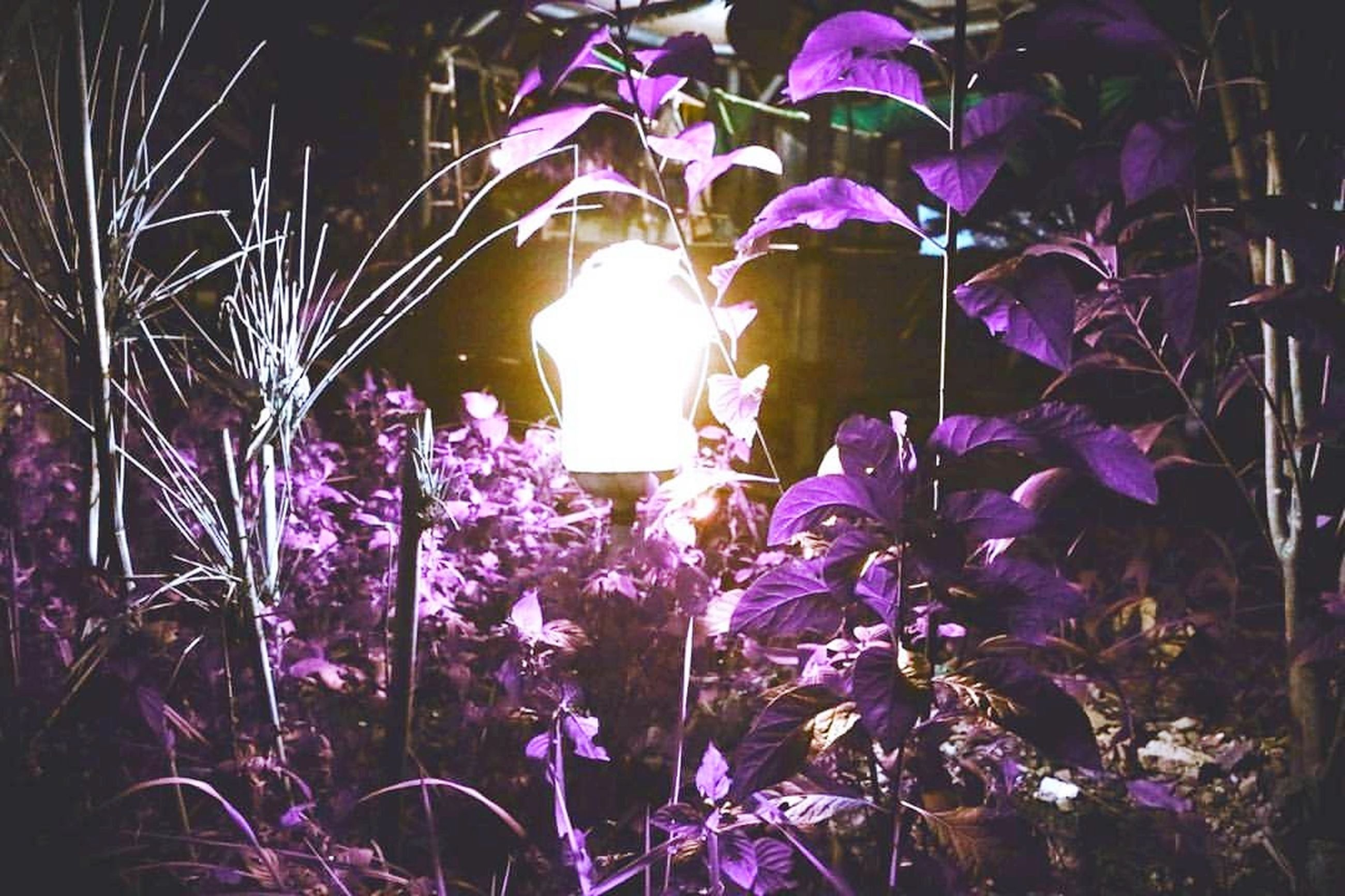 purple, flower, night, illuminated, growth, fragility, nature, outdoors, beauty in nature, plant, no people, freshness, close-up, flower head