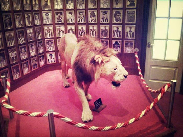 El león del antepalco. Es real, disecado, lo ganó un presidente del Athletic en una apuesta con el presidente del Alavés.