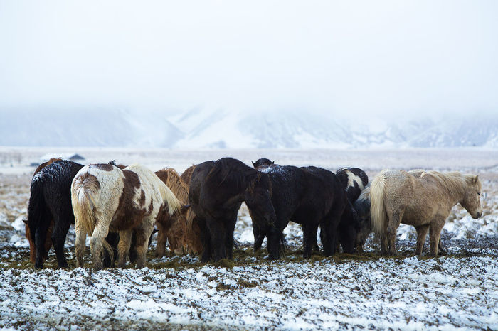 Agriculture Animal Animal Themes Beauty In Nature Day Domestic Animals Herd Herd Animal Icelandic Horses Landscape Large Group Of Animals Livestock Mammal Nature Nature Reserve No People Outdoors Snow Storm Winter Winterhike Wintertime