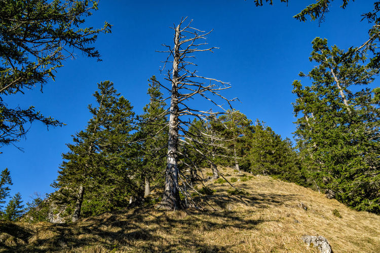 Dead standing tree Plant Tree Sky Growth Blue Beauty In Nature Tranquility Low Angle View Day Nature Land No People Tranquil Scene Sunlight Non-urban Scene Clear Sky Scenics - Nature Environment Branch Green Color Outdoors Coniferous Tree Alps Tyrol Austria