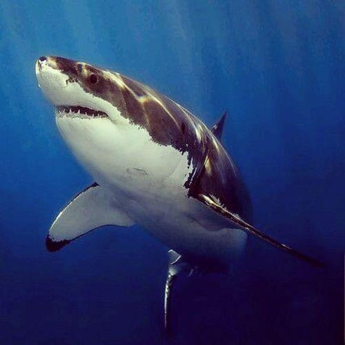 Amo a los Tiburones el animal más hermoso del mundo/ I love Sharks the most Beautiful animal in the world TiburonBlanco Mar ocean