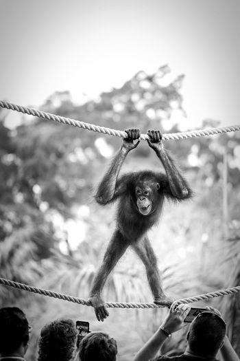 Have fun with orangutan Caffè Blackandwhite INDONESIA Orangutan Monkey Animal Wildlife Ubud, Bali Captivity EyeEm Best Shots Focus On Foreground No People Nature Close-up Decoration Day Plant Mammal Animal Outdoors Hanging Holiday