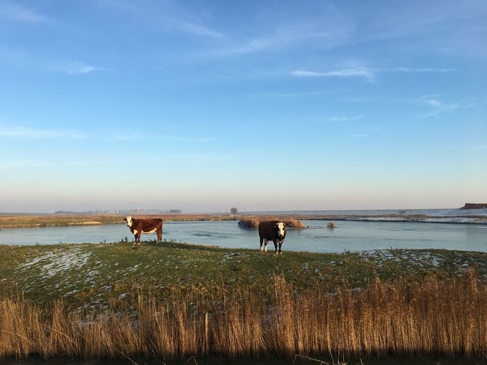Cows in the winter Groningen Holland Wintertime Cold Sky Water Nature Domestic Animals Cloud - Sky Beauty In Nature Mammal Tranquil Scene Tranquility Scenics Outdoors Animal Themes Grass Day No People Pets Horizon Over Water