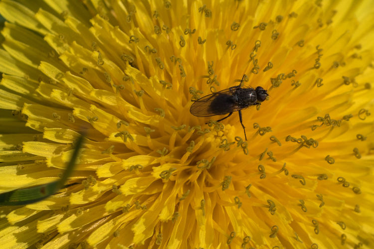 Fly on a yellow flower Animal Themes Bug Close-up Flower Flower Head Fly Insect Macro Macro Beauty Macro Nature Macro Photography Macro_captures Macro_collection Macrophotography Petal Yellow