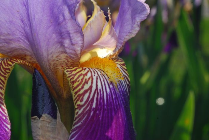 Flower Fragility Petal Beauty In Nature Nature Purple Freshness Flower Head Growth Close-up Blooming Plant No People Outdoors Day Beauty In Nature Iris Flower New Jersey New Jersey Photography