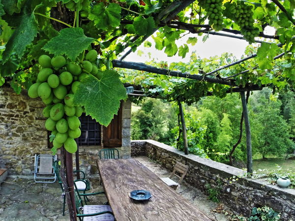 Beauty In Nature Day Fruit Green Color Growth Italy Live For The Story Nature Outdoors Tuscany Tuscany Countryside Vineyard
