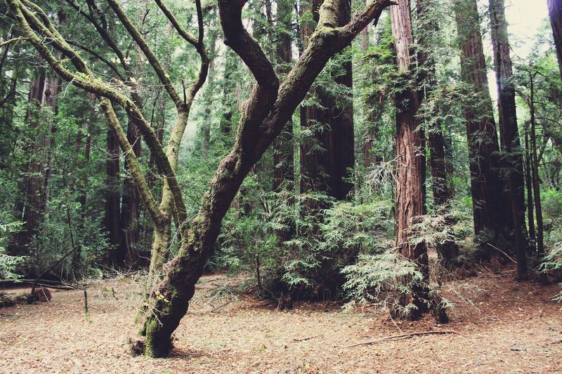 Muir Woods in San Francisco California Nature_collection EyeEm Nature Lover Nature Photography Forest Woods Nature