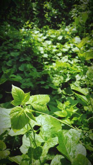 gree Leaf