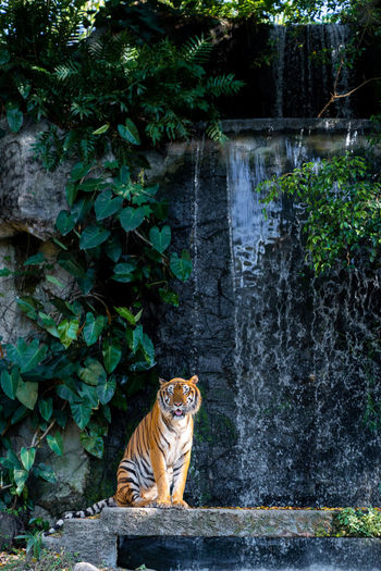 smile tiger standing front of waterfall Mammal Animal Themes Animal One Animal Feline Cat Plant Tiger Tree Big Cat Vertebrate Animal Wildlife Sitting Day Animals In The Wild No People Nature Portrait Outdoors