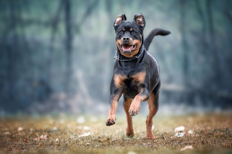 Nature Running Action Shot  Animal Blurred Background Dog One Animal Rottweiler
