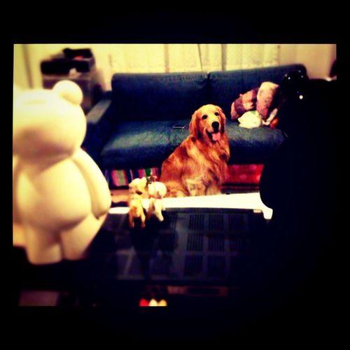 คอย Goldenretriever Hoykong Dog