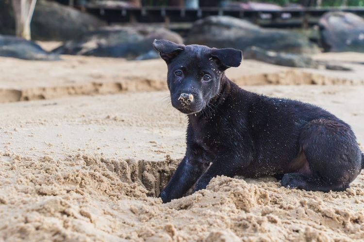 Portrait of black dog sitting on sand