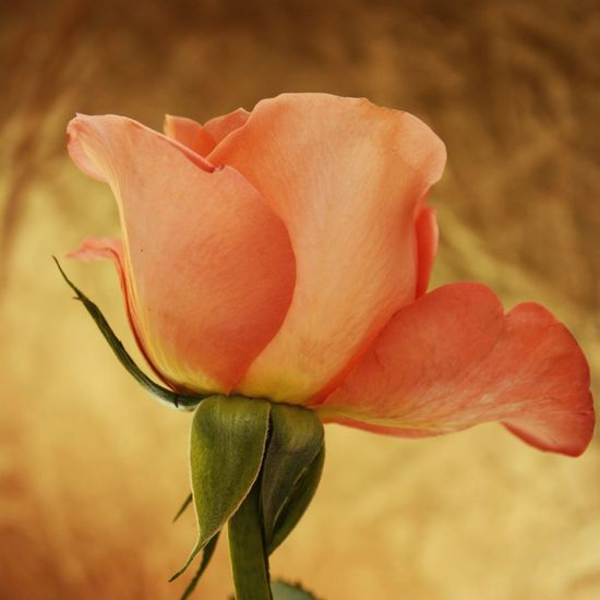 Peachy Rose ... Golden Peach Rose Flower Petal Fragility Flower Head Nature Beauty In Nature Growth Freshness Plant Blooming Close-up Focus On Foreground Outdoors No People Day Leaf