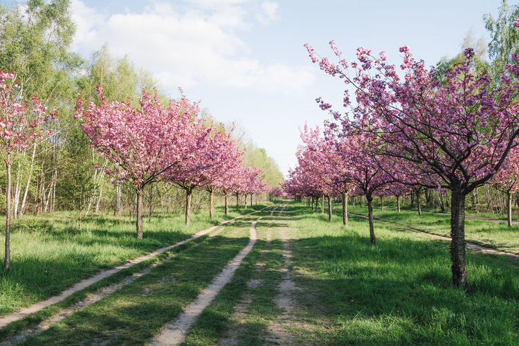 japanese cherry blossoms against blue sky Beauty In Nature Berlin Blossom Branch Day Field Flower Fragility Grass Growth Japanese Cherry Blossoms Landscape Nature No People Orchard Outdoors Scenics Sky Spring Spring 2017 Springtime The Way Forward Tranquil Scene Tranquility Tree