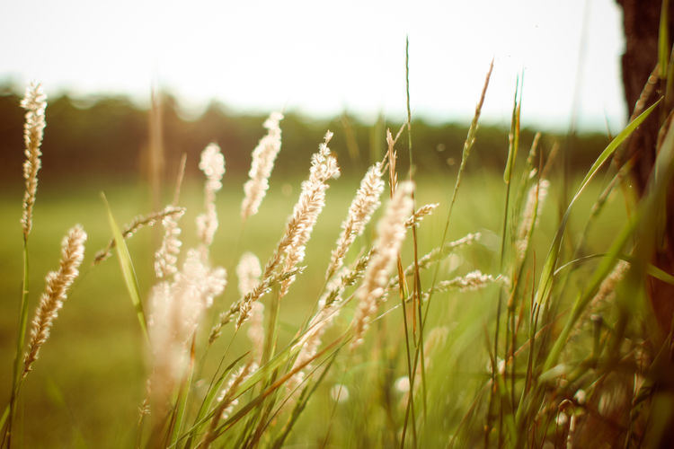 sunset grass EyeEm Nature Lover Grass Nature Photography Agriculture Beauty In Nature Close-up Day Environment Field Focus On Foreground Grass Green Color Growth Land Landscape Nature Nature_collection No People Outdoors Plant Rural Scene Selective Focus Sky Sunset Tranquility