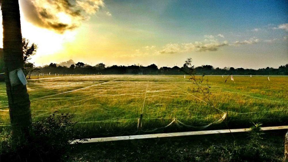Sawah Padi Sunrise...