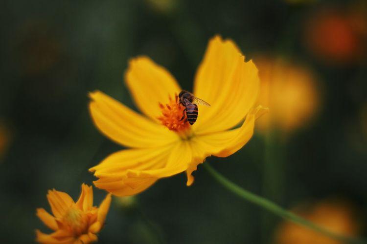 Close-Up Honey Bee On Yellow Flower