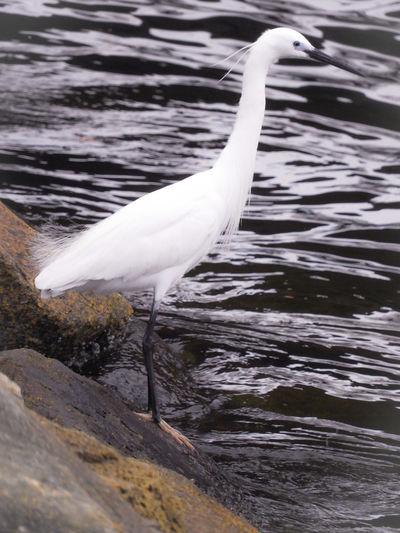 Bird Water Close-up Great Egret Water Bird