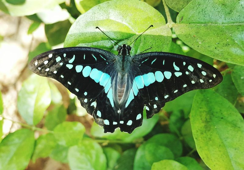 Butterfly Eyeem Photography Insect Photography Graphium Doson Common Jay Butterfly Indian Subcontinent Turquoise Colored Turquoise Green Garden Photography Insect Colourful Nature Beauty
