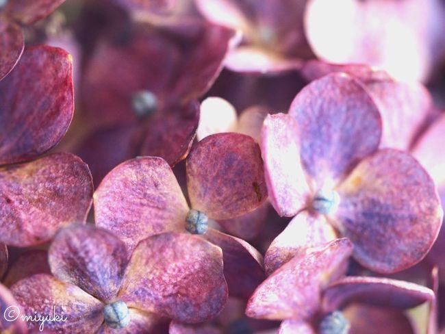 紫陽花 Hydrangea Hydrangea Flower Collection EyeEm Nature Lover EyeEm Best Shots