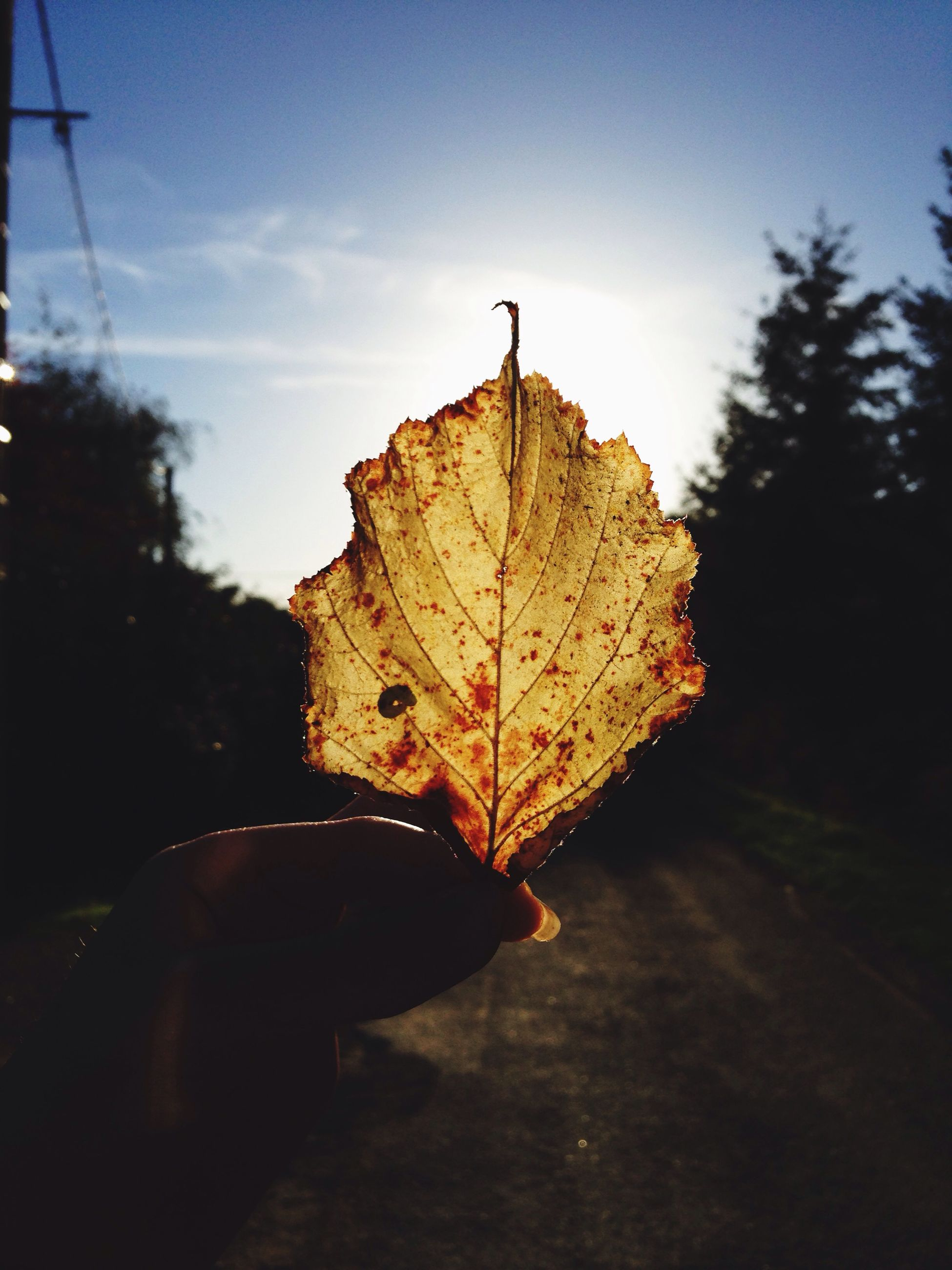 leaf vein, leaf, close-up, dry, autumn, natural pattern, nature, change, season, focus on foreground, one person, part of, sky, fragility, outdoors, maple leaf, beauty in nature, sunlight, leaves, day